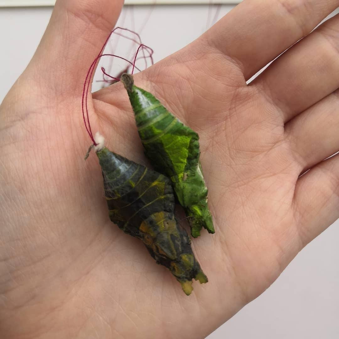 Куколки, из которых появляются бабочки