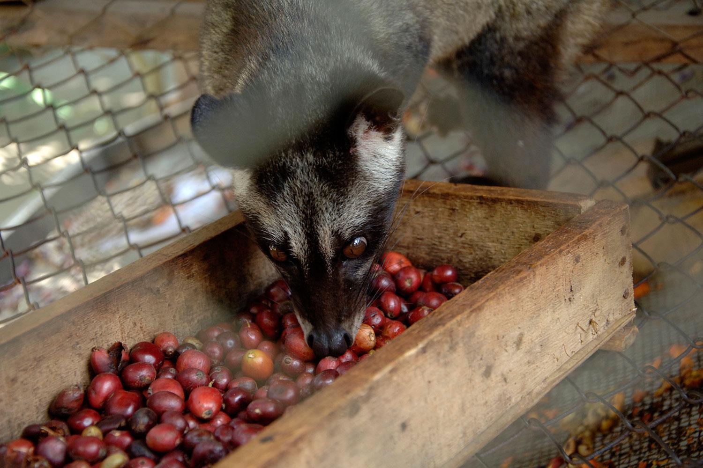 Кофе из помёта животных
