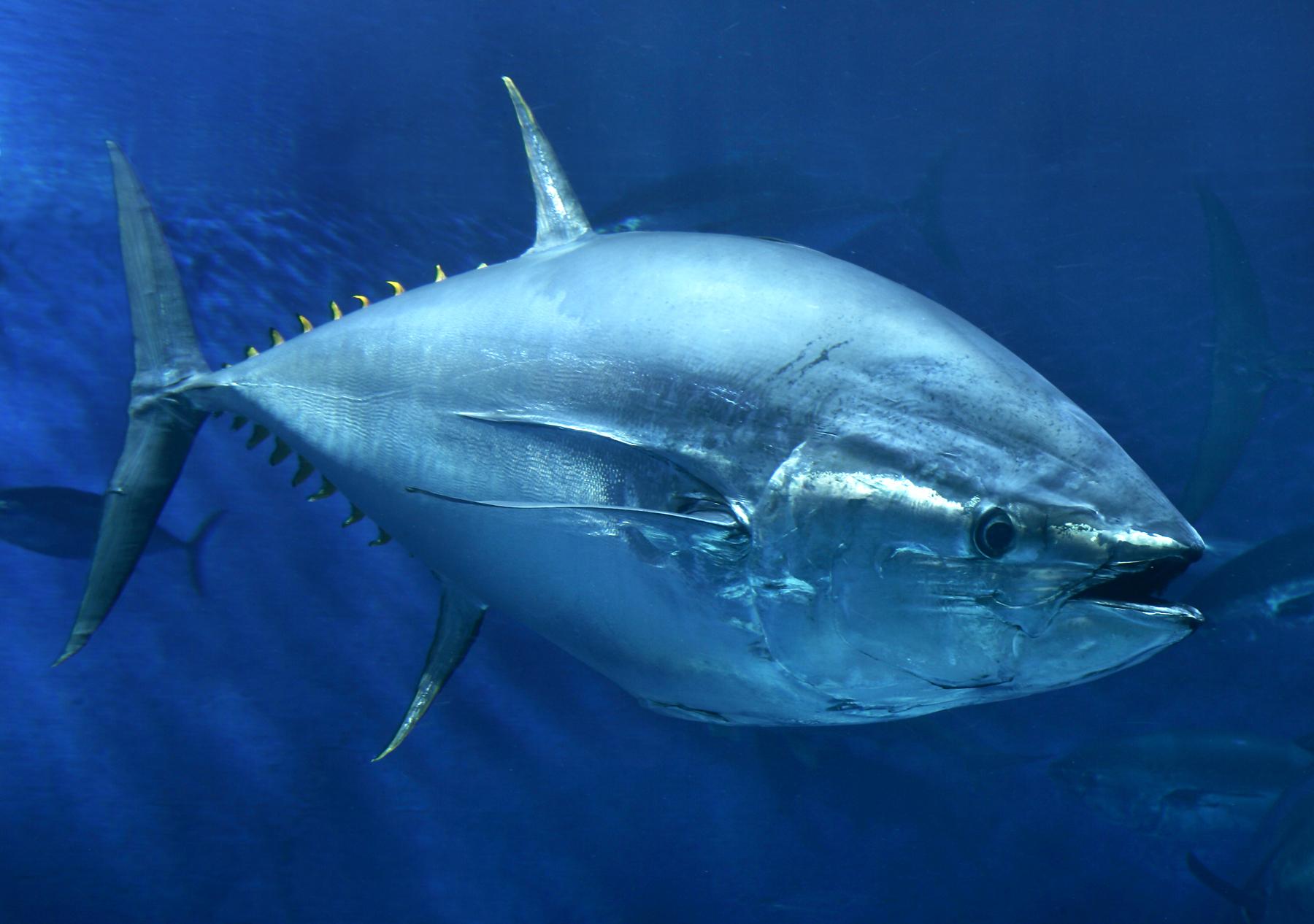 Атлантический голубой тунец
