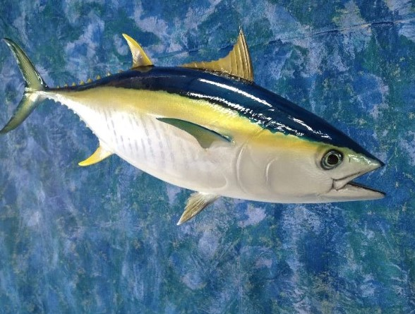 Живой тунец обыкновенный