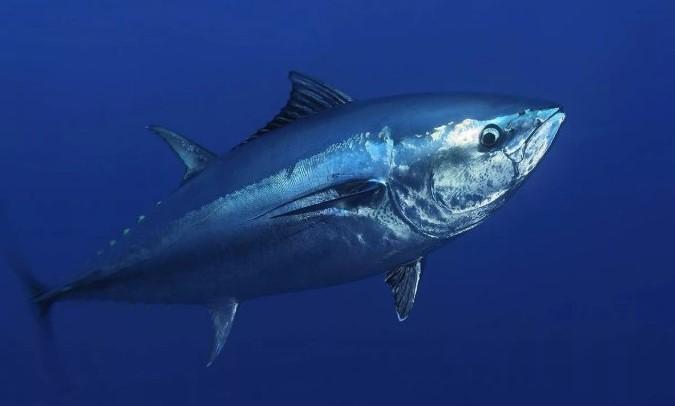 Голубой тунец в среде обитания