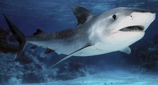 Тигровая акула в среде обитания